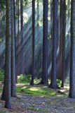 Rays of light in forest Royalty Free Stock Photo