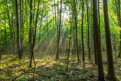 Rays of light in the forest Stock Image