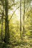 Rays of light on a magical misty forest I. Rays of light penetrate through fog and tree branches in a dense forest at dawn Royalty Free Stock Image