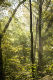 Rays of light on a magical misty forest II Stock Photography