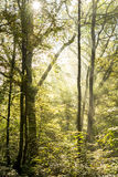 Rays of light on a magical misty forest III. Rays of light penetrate through fog and tree branches in a dense forest at dawn Stock Photos