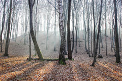 Rays of light in misty forest Royalty Free Stock Photography