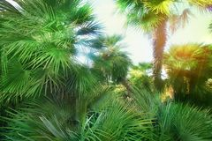 Rays of light and palm trees tropical climate. Royalty Free Stock Photo