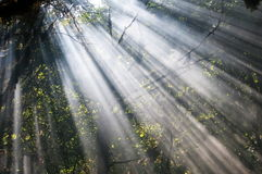 Rays of light in wood. Royalty Free Stock Images