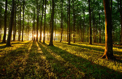 Rays of light. In the wood Stock Images