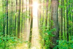 """Rays morgonsolen i sommar i skogen."", Royaltyfria Foton"