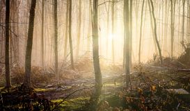 The rays of the morning sun penetrate through dense trees in the autumn forest_. The rays of the morning sun penetrate through dense trees in the autumn forest royalty free stock photography