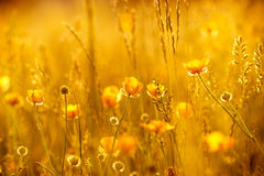 Rays Of The Setting Sun On Yellow Flowers Stock Photos