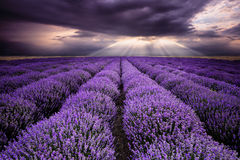 Rays over lavender field stock images