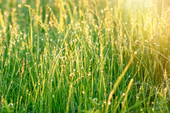Rays of the rising sun illuminated the meadow dew Royalty Free Stock Photo