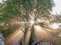 Rays of rising sun among trees. Large, tall deciduous trees. It`s morning. A light fog is drifting in the crowns. The rays of the rising sun pierce through the stock photos