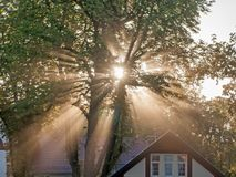 Rays of rising sun among trees. Large, tall deciduous trees. It`s morning. A light fog is drifting in the crowns. The rays of the rising sun pierce through the royalty free stock photos