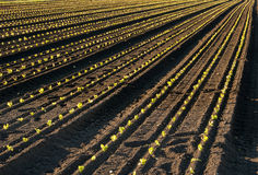 Rays. Rows of just planted green lettuce Stock Photo