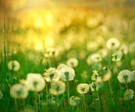 Rays of the setting sun on a dandelion Stock Photo
