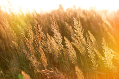 The rays of the setting sun on high grass Stock Photos