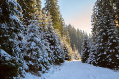 Rays of the setting sun light up the snow covered fir trees Royalty Free Stock Photos