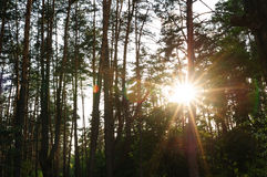 Rays of the setting sun in a pine forest Stock Photography