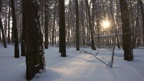 Rays of setting sun streaming through trunks of pine trees in winter forest stock footage video. Rays of setting sun streaming through the trunks of pine trees stock video