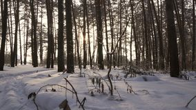 Rays of setting sun streaming through trunks of pine trees in winter forest stock footage video. Rays of setting sun streaming through the trunks of pine trees stock footage