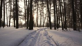 Rays of setting sun streaming through trunks of pine trees in winter forest stock footage video stock footage