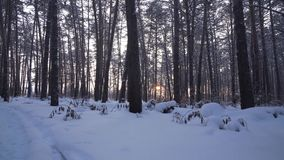 Rays of setting sun streaming through trunks of pine trees in winter forest stock footage video. Rays of setting sun streaming through the trunks of pine trees stock video footage