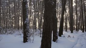 Rays of setting sun streaming through trunks of pine trees in winter forest stock footage video stock video footage