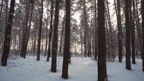 Rays of setting sun streaming through trunks of pine trees in winter forest stock footage video stock video
