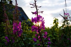 Rays that sit over the horizon at sunset, make their way through the violet petals of the garden flower Lupine. The countryside is stock photography