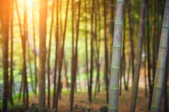 Bamboo forest at sunset. Rays of the sun through the bamboo branches Royalty Free Stock Photos