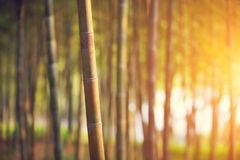 Bamboo forest at sunset. Rays of the sun through the bamboo branches Stock Image