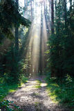 Rays of the sun breaking through the pine trees Stock Photography