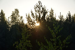 Rays of the sun at dawn, making their way through the leaves of Royalty Free Stock Image