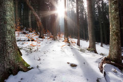 Rays of sun filtering through trees. In winter forest Stock Images
