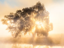 The rays of Sun through a fog and tree's. The rays of the Sun through the fog and the silhouette of a tree at dawn Royalty Free Stock Photo