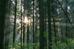 Rays of sun in foresn Royalty Free Stock Images