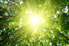 Rays of sun in forest Stock Photography
