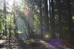 Rays of the sun in the forest. Beautiful morning rays of the sun in the forest Stock Image