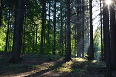 Rays of the sun in the forest. Beautiful morning rays of the sun in the forest Stock Photography