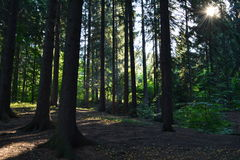 Rays of the sun in the forest. Beautiful morning rays of the sun in the forest Royalty Free Stock Photo