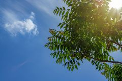 Rays of the sun through the green foliage on the background of a beautiful summer sky.  royalty free stock image