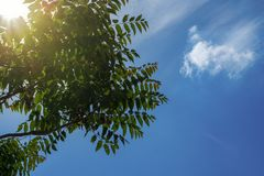 Rays of the sun through the green foliage on the background of a beautiful summer sky.  royalty free stock photo