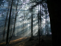 Rays of the sun II. Rays of the sun at woods Royalty Free Stock Photo