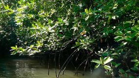 The rays of the sun illuminate the mangrove forest on the river. Quiet waters of the lake under the tropical sun at the edge of the exotic forest stock video