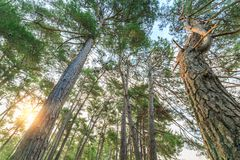 Rays of the sun illuminate the trunks of tall pine trees in the forest Royalty Free Stock Image