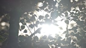 Rays of the sun through the leaves of birch slow motion video. Sun rays penetrate through the birch leaves swaying in the wind, slow motion video stock video footage