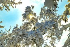 The rays of the sun make their way through the snow-covered leaves Royalty Free Stock Photo