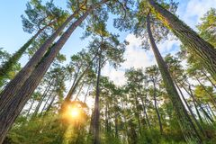 Rays of the sun make their way through the trunks of tall pine trees in the forest Royalty Free Stock Image