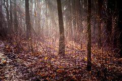 The rays of the sun in the morning penetrate into the thick, dense forest in the fall_. The rays of the sun in the morning penetrate into the thick, dense forest royalty free stock image
