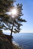 The rays of the sun pass through the branches of a pine growing on a cliff near the sea Stock Image
