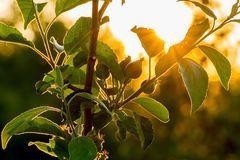 Rays of  sun penetrate through  leaves of apple. Branch a tree. Is on the background of  sky at sunset Royalty Free Stock Photo